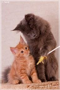 Фото история котят мейн кун в возрасте 7,5 недель 19
