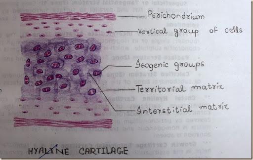 hyaline cartilage
