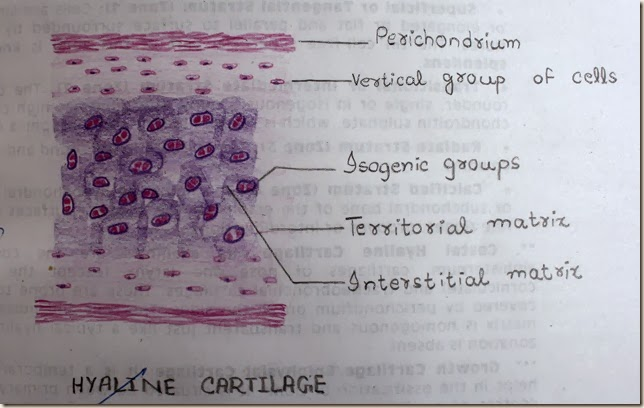 hyaline cartilage high resolution histology diagram