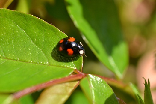 Black - four-spot ladybird6