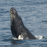 Humpback whale calf