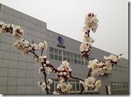 中国出張2013年3月 梅