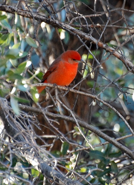 2. hepatic tanager in Madera-kab