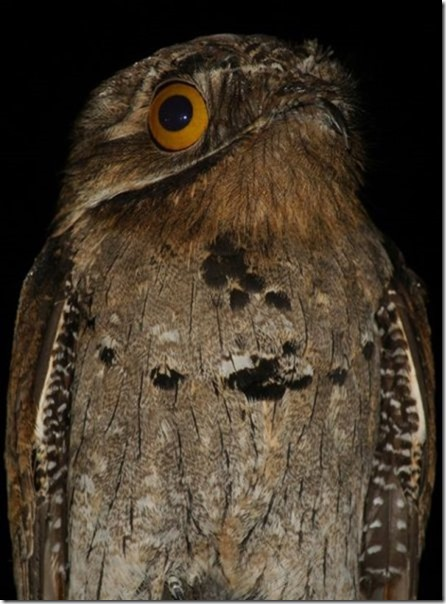 potoo-birds-eyes-6
