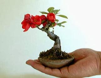 Quince floração (var. 'Sweet')