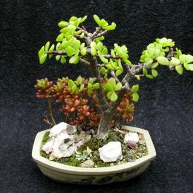 La Portulacaria è una pianta decisamente apprezzabile come elemento di arredo all'interno di un appartamento.