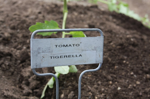 The tomatoes we're planting have stripes - can't you tell by the name?