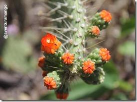 Cactus em floração