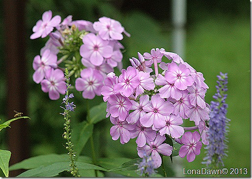 Phlox_Davids_Lavender