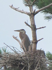 great blue heron in nest far away6.7.24