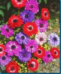 anemone_stbrigid