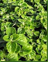 Menthol Plant