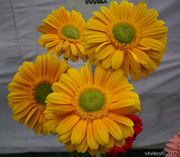 Different Types of Daisy Flowers Wallpaper, Yellow Daisy Flowers