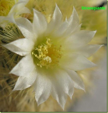Mammillaria carmenae fiore petali appuntiti