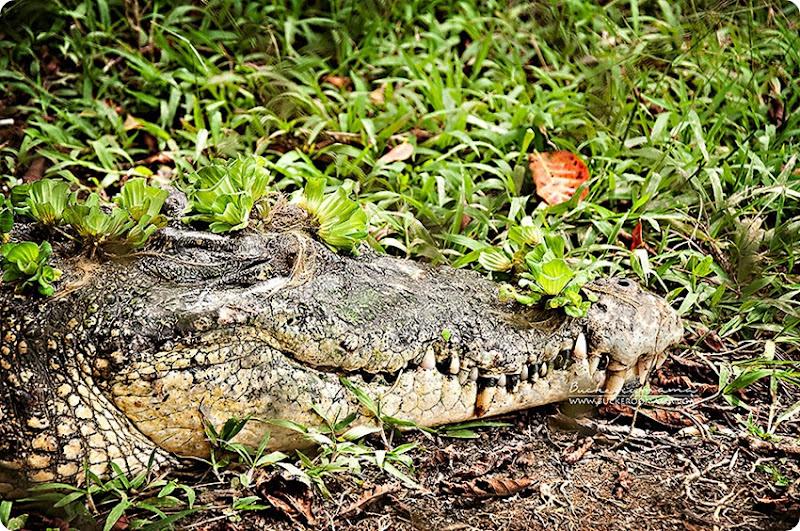 Crocodile-farm-(2)
