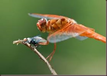 Amazing Pictures of Animals, photo Nature, exotic, funny ,incredibel Zoo, Dragonfly, Insecta, Alex (24)