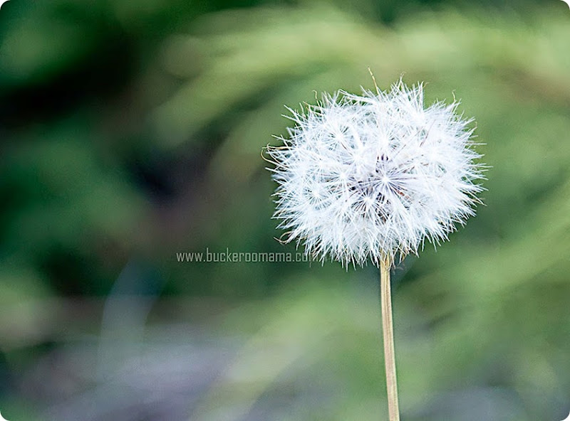 Dandelion-(1)