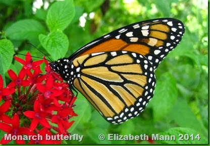 19-Monarch butterfly