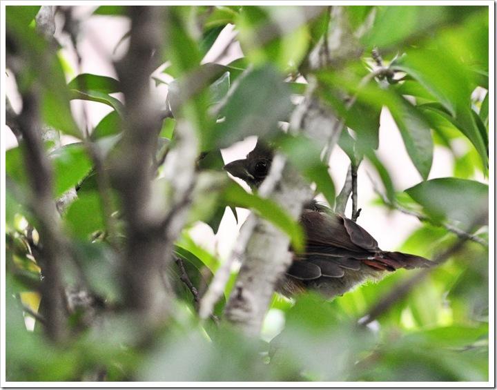 baby redbird 005 sz