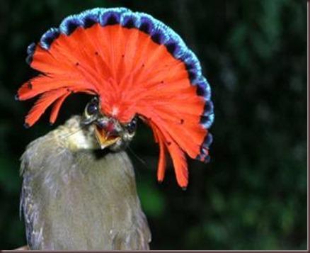 Amazing Animal Pictures Amazonian Royal Flycatcher (10)