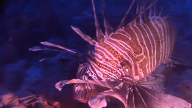 Lionfish in the waters around Bermuda. 'The lionfish invasion is probably the worst environmental disaster the Atlantic will ever face', said Graham Maddocks, president and founder of Ocean Support Foundation. Photo: CNN