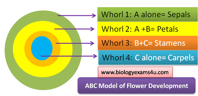 ABC model whorls