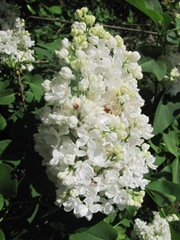 double white lilac Andys 5.2012