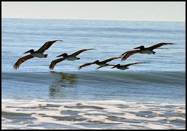 Birds - Pelicans