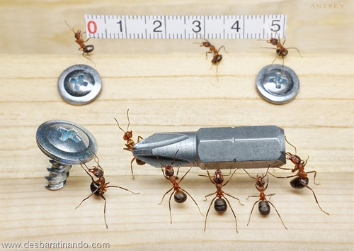 formigas inacreditaveis incriveis desbaratinando  (65)