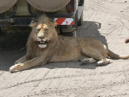 Safari: A lion in Ngorongoro