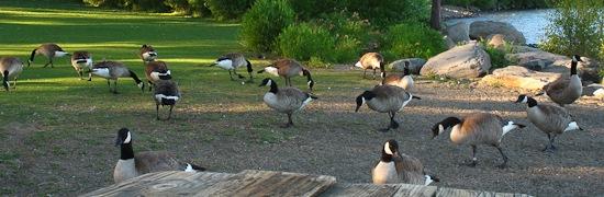 Tahoe City Geese