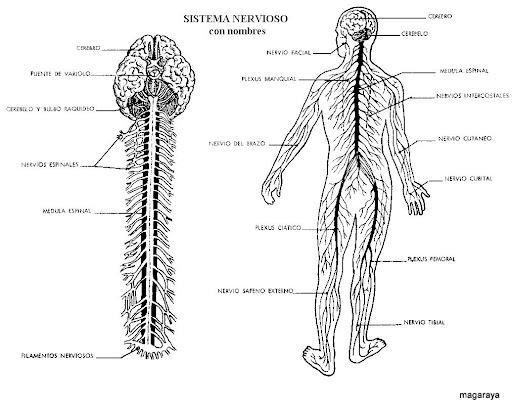 Del Sistema Nervioso Para Colorear Esquema Del Sistema Oseo Para