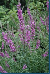 ohio%20dnap,%20purple%20loosestrife