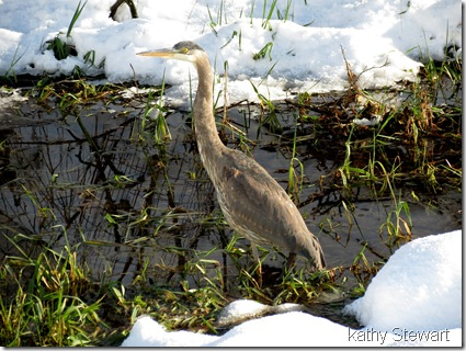 Heron in the ditch