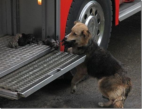 cadela salva filhotes (1)