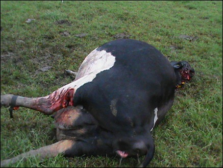 tsitsikamma cattle mutilations Bakkes Farm April 7 2012