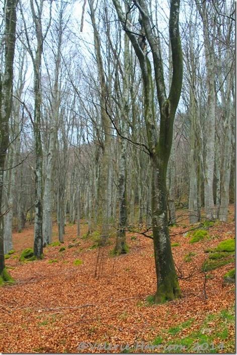 2-beech-woods
