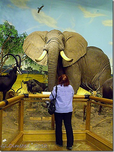 07 Berta looking at elephant African safari display Cabela's Glendale AZ (768x1024)