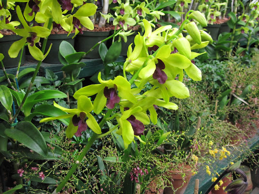 Beautiful dendrobium orchids... I love the bright green color!
