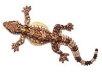 Gecko Ptychozoon intermedium Malagos copy 1