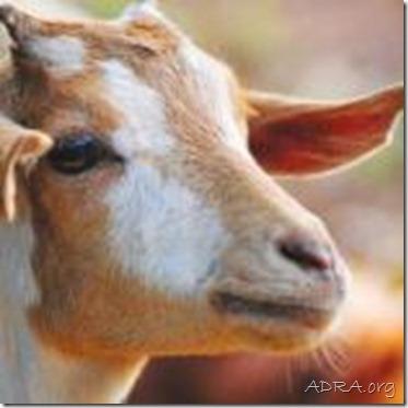 Goat for Tunisia