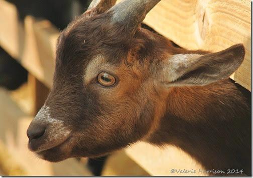 1-goat