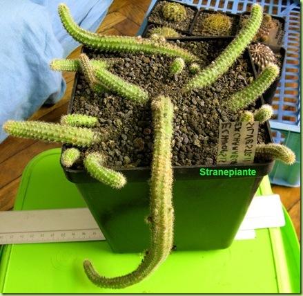 6 Echinopsis chamaecereus rinvaso 4-11