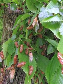brood 19 cicadas on bush