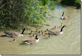 2 families of goslings