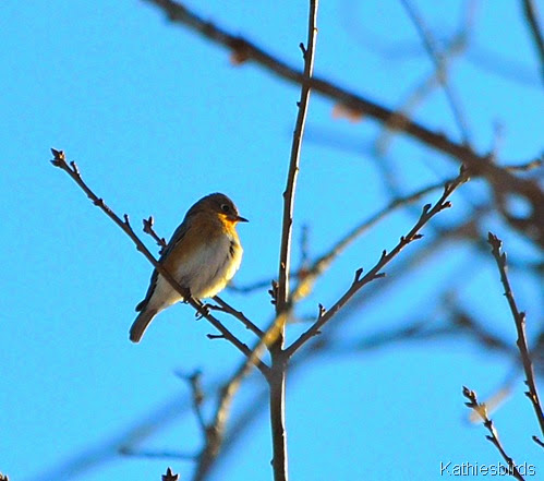 12. bluebird-kab