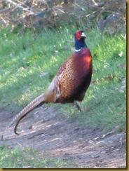IMG_0135 pheasant