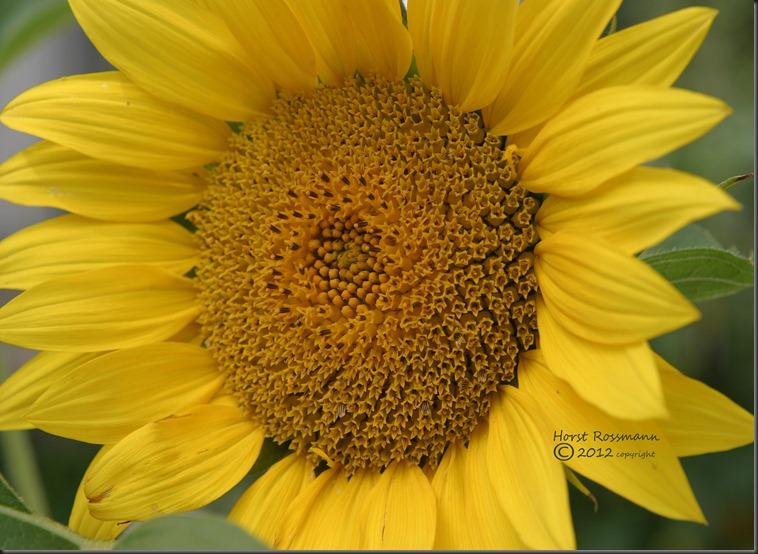 my sunflower copy