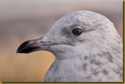 - Iceland Gull cu head D7K_1791 January 02, 2012 NIKON D7000
