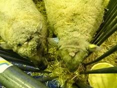 2015.02.26-010 mouton vendéen